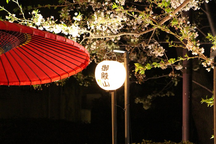 the night-time scenery of the cherry blossoms
