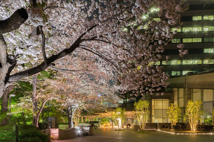 the cherry blossoms rising fantastically on spring nights