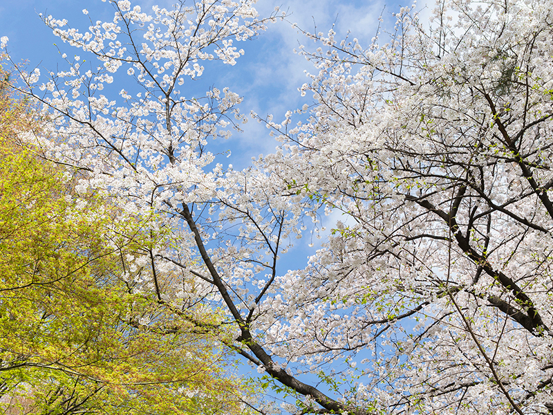The cherry blossoms will announce the coming of spring.