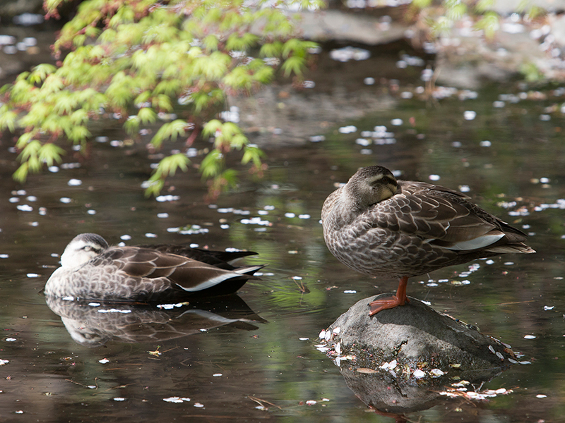 Gotenyama Garden; where birds singing can be heard. When the weather is nice, families of ducks also come out to play.