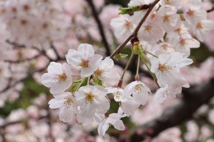 御殿山の桜、満開です!