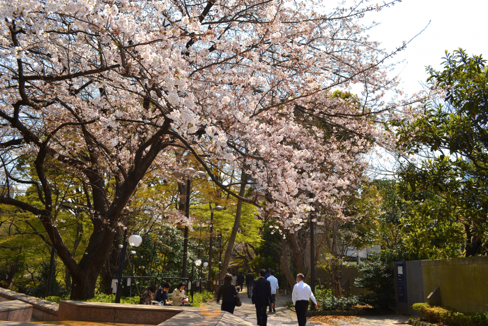 At Gotenyama Garden, the shape of the cherry blossom trees are brilliant and truly powerful