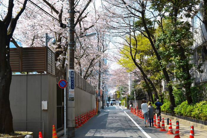 ミャンマー大使館前は桜が立ち並び、まるでトンネルのよう。