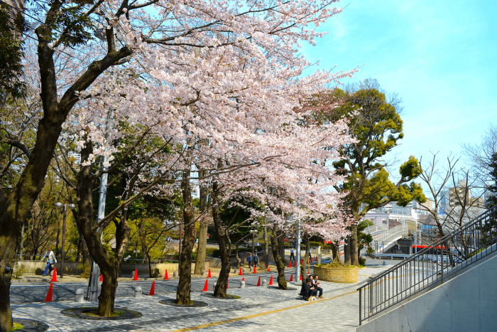 Across from Gotenyama Trust City, the cherry blossoms at the Gotenyama House are also a must-see