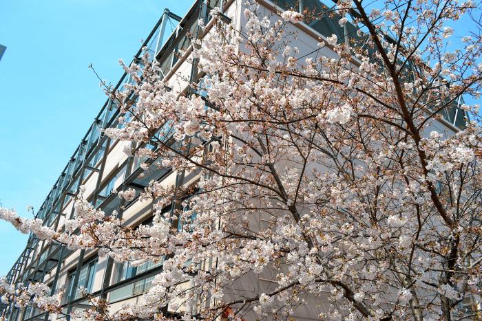 Cherry blossoms located on the grounds of Shinagawa Joshi Gakuin.