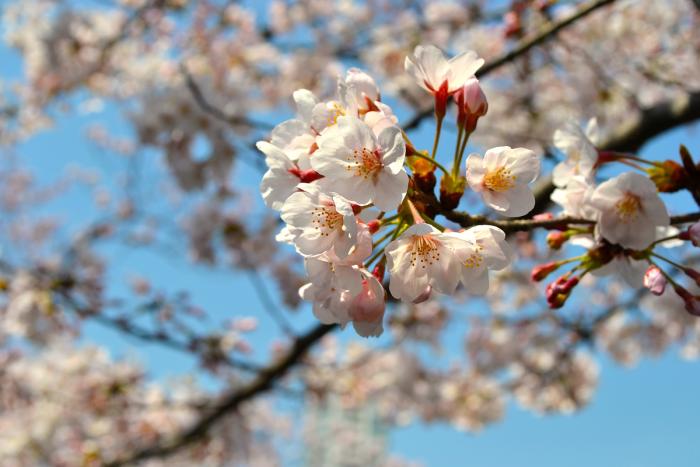 Someiyoshino (prunus yedoensis); flowers blooming in the Ebara Shrine area.